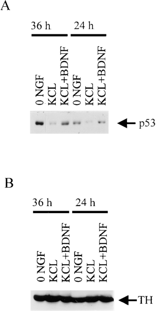 p53 levels increase during  apoptosis of sympathetic neurons as  induced by BDNF-mediated activation of p75NTR. (A) Western blot  analysis for p53 in equal amounts of  protein derived from sympathetic  neurons that were cultured in 50 ng/ ml NGF for 4 d, and then were  washed free of NGF and switched  into 50 mM KCl (KCL), 50 mM  KCl plus 100 ng/ml BDNF (KCL +  BDNF), or media containing no  NGF or KCl (0 NGF) for 24 or 36 h.  Note that p53 levels in the neurons  treated with KCl and BDNF are  similar to those in 0 NGF, and are  greater than those maintained in  KCl alone. (B) The same blot as in  A reprobed for the neurotransmitter enzyme, tyrosine hydroxylase  (TH) to demonstrate that equal  amounts of protein were present in  each of the lanes.