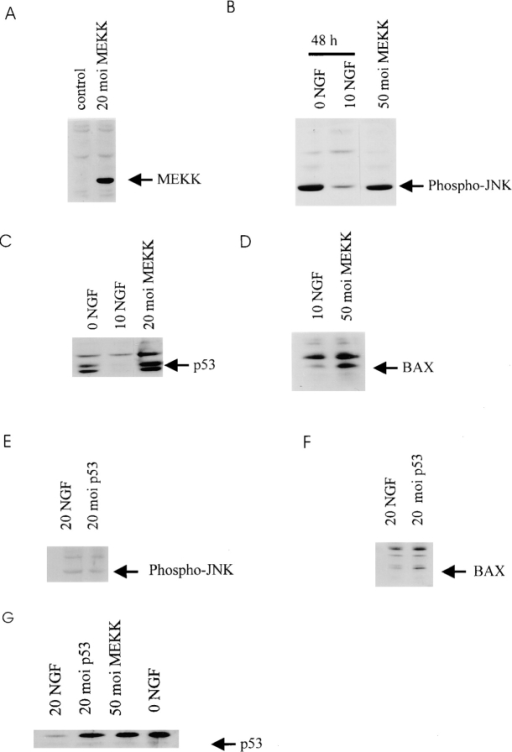 (A–D) p53 and Bax protein levels increase after activation of the MEKK-JNK pathway in sympathetic neurons. (A)  Western blot analysis for c-myc in equal amounts of protein derived from sympathetic neurons infected with 20 moi myc-tagged  MEKK1 (20 moi MEKK) or β-galactosidase (control) adenovirus  for 48 h. In both cases, neurons were maintained in 20 ng/ml NGF  for the entirety of the experiment. (B) Western blot analysis for  phospho-JNK in equal amounts of protein derived from sympathetic neurons that were infected with 50 moi MEKK1 adenovirus and maintained for 48 h (50 moi MEKK), or from uninfected  sister cultures that were either maintained in 10 ng/ml NGF (10  NGF), or that were withdrawn from NGF for 48 h (0 NGF). Note  that the level of phospho-JNK immunoreactivity is similar in neurons withdrawn from NGF or transduced with activated MEKK1.  (C) Western blot analysis for p53 in equal amounts of protein derived from sympathetic neurons that were infected with 20 moi  MEKK1 adenovirus and maintained in 20 ng/ml NGF for 48 h (20  moi MEKK), or from uninfected sister cultures that were maintained in 10 ng/ml NGF (10 NGF), or that were withdrawn from  NGF for 48 h (0 NGF). Note that p53 protein levels are increased  by activated MEKK1 as they are by NGF withdrawal. (D) Western blot analysis for Bax in equal amounts of protein derived  from sympathetic neurons that were infected with 50 moi  MEKK1 adenovirus and maintained in 20 ng/ml NGF for 48 h (50  moi MEKK), or from uninfected sister cultures that were maintained in 10 ng/ml NGF for the same time period. (E and F) Increased expression of p53 in sympathetic neurons causes increased Bax protein, but does not affect phosphorylation of JNK.  (E) Western blot analysis for phospho-JNK in equal amounts of  protein derived from sympathetic neurons infected with 20 moi  p53 adenovirus and maintained in 20 ng/ml NGF for 48 h, or from  uninfected sister cultures that were maintained in 20 ng/ml for the  same time period. (F) Western blot analysis for Bax in equal  amounts of protein derived from sympathetic neurons infected  with 20 moi p53 adenovirus and maintained in 20 ng/ml NGF for  48 h, or from uninfected sister cultures maintained in 20 ng/ml  NGF for the same timeperiod. (G) Western blot analysis for p53  in equal amounts of protein derived from sympathetic neurons  maintained in 20 ng/ml NGF and infected with 20 moi p53 adenovirus or 50 moi activated MEKK adenovirus for 30 h. As a control, neurons were withdrawn from NGF (0 NGF) for 30 h.