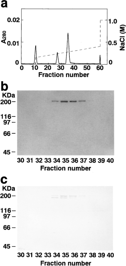 Mono Q column chromatography. (a) Absorbance at  280 nm (A280). (b) 125I-labeled F-actin blot overlay. An aliquot (3  μl) of each fraction was subjected to 125I-labeled F-actin blot  overlay. (c) Protein staining with Coomassie brilliant blue. An aliquot (10 μl) of each fraction was subjected to SDS-PAGE (8%  polyacrylamide gel), followed by protein staining with Coomassie  brilliant blue.