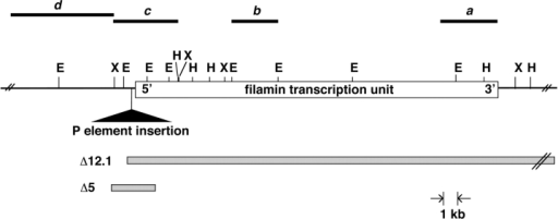Restriction map of the genomic region of the Drosophila filamin gene. Dark lines a–d represent the positions of genomic DNA fragments used as probes described in the text. The filamin transcription unit spanning ∼30 kb is indicated by an open box. The triangle points to the position of the P-element insertion in the fly stock EP(3)3715. Open boxes indicate regions deleted in two deficiencies (Δ12.1, Δ5) generated by imprecise excisions of the P-element. The 3′ breakpoint of the deficiency Δ12.1 extends an undetermined distance beyond the filamin transcription unit.
