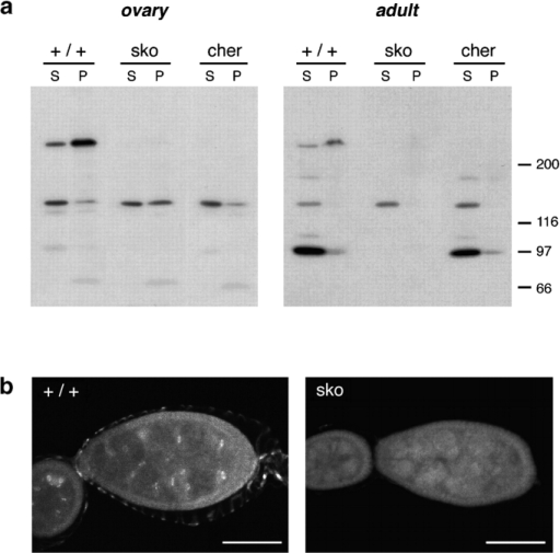 Expression of filamin protein in ovaries and adults. (a) Western blots of protein extracts from wild-type and mutant ovaries and whole flies, probed with anti-filamin antibody 4-3D. In ovaries (left), the ∼250 kD protein seen in wild-type (+/+) extracts is not detected in the sko or cheerio1 mutants. Extracts of whole male adults (right panel) show a 97-kD protein in addition to the 250-kD species in wild-type flies. Neither polypeptide is detected in sko mutant extracts; in cheerio1 mutants, the 97-kD species is detected but the 250-kD species is not. Identical results were obtained using whole female adults (not shown). S, supernatant; P, pellet; equal total protein is loaded in each lane. (b) Localization of filamin in ring canals. Egg chambers from wild-type and sko animals were probed with antibody 4-3D and visualized by confocal microscopy. In the stage 3 egg chambers shown, filamin is seen in ring canal structures in wild-type (left panel) but not in the sko mutant (right panel). Bars, 50 μm.