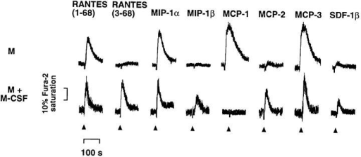 Effects of chemokines on [Ca2+]i in monocytes cultured in  the absence (M) or presence (M + M-CSF) of M-CSF. Fura-2–labeled  cells were exposed (at the times indicated by arrowheads) to chemically  synthesized RANTES variants (100 nM) or other indicated rh chemokines (30 nM; R & D Systems), and Ca2+ responses were measured. The  final concentrations of chemokines in this and subsequent experiments  were sufficient to induce a maximal increase in [Ca2+]i in the responding  cells, and further challenge with the same dose produced little or no detectable change in [Ca2+]i. The duration (∼100 s) and amplitude (∼20– 30% of Fura-2 saturation) of Ca2+ responses were similar to those obtained for chemokines with human monocytes (36). Similar results were  obtained in two additional experiments.