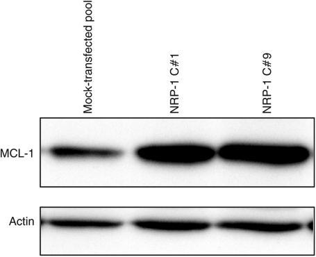 Effect of NRP-1 overexpression on the antiapoptotic protein, MCL-1. Analysis of apoptosis-related gene expression by gene microarray revealed a three-fold increase in gene expression of the antiapoptotic Bcl-2 homologue, MCL-1. In order to confirm upregulation of the MCL-1 protein, Western blot analysis of the FG mock transfectants and NRP-1 transfectants was performed. A nearly two-fold increase in MCL-1 protein expression was observed in the NRP-1-overexpressing cells. Actin levels are shown as a loading control.