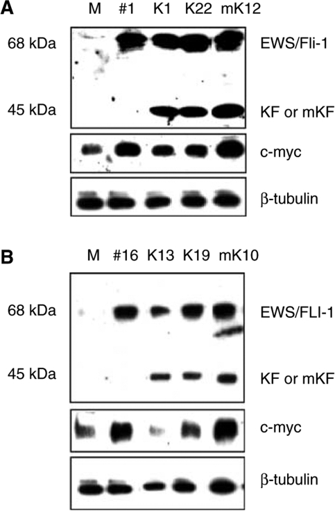 Western blot showing the expression of EWS/FLI-1 (68 kDa), KRAB/FLI-1 or mutant KRAB/FLI-1 (45 kDa), and alteration of c-myc protein levels in transfected NIH3T3 cells. (A) Cells transfected with empty construct (M=mock control) or murine EWS/Fli-1 (#1) and subclones of #1 cotransfected with KRAB/FLI-1 (K1, K22) or mutant KRAB/FLI-1 (mK12). (B) Similar human EWS/FLI-1-transformed clones transfected with KRAB/FLI-1 (K13, K19) or mutant KRAB/FLI-1 (mK10).