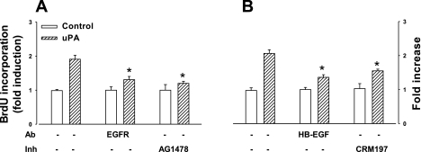 uPA acts through heparin-binding EGF (HB-EGF) to stimulate epithelial cell proliferation. A: uPA (500 ng/ml)-stimulated BrdU incorporation was inhibited by neutralizing Ab to the EGF receptor (EGF-R) (2 μg/ml) and by receptor tyrosine kinase inhibitor (Inh) AG1478 (2 ng/ml). B: uPA-stimulated BrdU incorporation was also inhibited by neutralizing Ab to HB-EGF (5 μg/ml) and by the mutant diphtheria toxin CRM197 (5 μg/ml); n = 3–4, *P < 0.05, ANOVA.