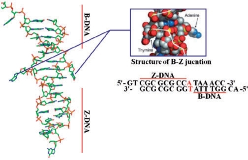 Crystal structure of the bz junction extruded bases open i crystal structure of the bz junction extruded bases at the junction are colored ccuart Choice Image