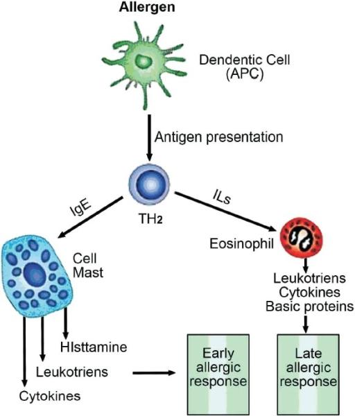 Pathophysiology of asthma APC= Antigen presenting cell, | Open-i