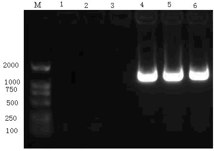 Verification of the Recombinant pGEM-HBVC+S Plasmid. The PCR amplification products from recombinant pGEM-HBVc+s were analysed using ethidium-bromide-stained 1% agarose gel. Lanes 1, 2, and 3: negative control with no template; Lane 4: positive control of recombinant clones; Lane 5 and 6: PCR products of positive recombinant clones.
