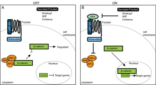 Overview of Wnt/β-catenin signaling Ctenophore pathway. (A) When Wnt signaling is inactive, cytoplasmic β-catenin protein is bound by the 'destruction complex' of axin, glycogen synthase kinase 3 (GSK-3) and adenomatous polyposis coli (APC). While sequestered, GSK-3 phosphorylates β-catenin, which targets β-catenin for ubiquitination and degradation. (B) In the presence of a Wnt ligand, the pathway is activated. Wnt binds to the seven-transmembrane receptor Frizzled and its co-receptor lipoprotein receptor-related protein 5/6 (LRP5/6), which causes Dishevelled (Dsh) to be activated. Dsh inhibits GSK-3, thereby allowing β-catenin to accumulate in the cytoplasm. Eventually, β-catenin gets translocated to the nucleus, where it interacts with the transcription factor T-cell-specific transcription factor/lymphoid enhancer binding factor (TCF/LEF) to activate target genes. The diffusible antagonists (Secreted Frizzled-related (Sfrp), Dickkopf (DKK), Wnt Inhibitory Factor (WIF) and Cerberus (CER)) can modulate Wnt activity by preventing the binding of Wnt to its receptors.