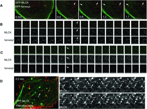 GFP-MLCK rings appear to be associated with discrete membrane structures at the base of the cell. (A) Stills taken of cells expressing GFP-MLCK (green) and RFP-farnesyl (red) for different times (in min) after hypotonic treatment. Different angled arrows mark different MLCK rings displayed in the following two panels. Scale bars are 15 μm. (B) Sequential stills of the ring marked by an arrow in the upper right corner of panel A from just before to 2.5 min after hypotonic treatment. The top row shows GFP-MLCK (green) and RFP-farnesyl (red). The middle row shows signal from MLCK, and the bottom row shows signal from farnesyl. The arrow indicates a time (1.2 min after hypotonic exposure) when both MLCK and some of the membrane marker appear as rings. Scale bars are 5 μm. (C) Sequential stills of the ring marked by an arrow in the upper left corner of panel A from 0.7 min to 3.5 min after hypotonic treatment. The top row shows GFP-MLCK (green) and RFP-farnesyl (red). The middle row shows MLCK signal, and the bottom row shows farnesyl signal. The arrow indicates a time (1.8 min) when the lumen of the MLCK ring is filled with membrane marker. Scale bars are 5 μm. (D) Stills from live imaging of cells transfected with GFP-MLCK (green) exposed to exogenous FM4-64X (red) for 2 min during hypotonic treatment and then washed out for the remaining recovery. An arrow marks an area where membrane dye has been internalized, such that GFP-MLCK signal colocalizes with an apparent FM4-64X ring. The adjacent panels depict magnified images of the MLCK signal for subsequent times. Over time, the MLCK ring appears to become a patch. The scale bar is 15 μm.