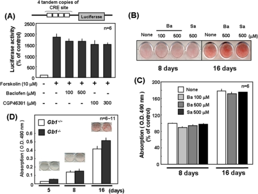 Lack of effects of GABABR ligands on adipocytic differentiation.(A) 3T3-L1 cells were transfected with the luciferase vector containing 4 tandem copies of CRE site, followed by exposure to the GABABR agonist baclofen, the GABABR antagonist CPG46381 or forskolin for 24 h and subsequent determination of luciferase activity. 3T3-L1 cells were cultured for 8 to 16 days, in either the presence or absence of baclofen and the antagonist saclofen, followed by Oil red O staining. Typical micrographic pictures are shown in the panel (B), while in the panel (C) quantitative data are shown as the mean ± S.E in 5 independent determinations. (D) EF was isolated from WT and GABABR1- mice, followed by culture for 5 to 16 days and subsequent staining with Oil red O. Values are the mean ± S.E. from 6 to 11 different experiments. Neither agonist nor antagonist for GABABR exhibited significant effects on adipogenesis. Ba, baclofen; Gb1, GABABR1; Sa, saclofen.