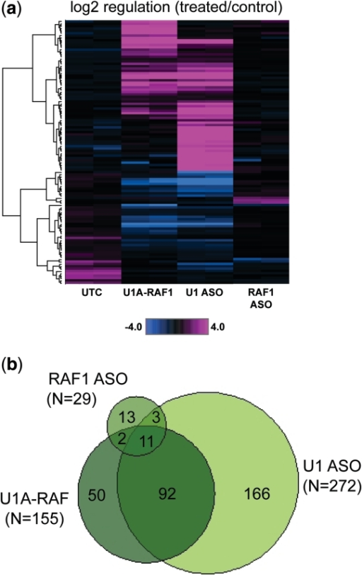 Global effects of RAF1 U1 adaptor and anti-U1 ASO treatment. HeLa cells were transfected with U1A-RAF, anti-U1 ASO 469508, or ASO 194166 at 50 nM. Total RNA was purified the following day, and mRNA reduction evaluated by qRT/PCR. (a) Affymetrix exon arrays were performed using total RNA. Data were clustered at the transcript level using ANOVA-selected genes (N = 112, treated versus control, P < 0.1). Shown is log2 regulation for U1 adaptor/ASO treated cells versus control. (b) Venn diagrams comparing total signatures for U1 adaptor/ASO versus control. U1A-RAF1, dark green; ASO 469508, light green; ASO 194 166, green.