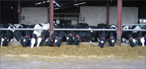 This study looked at the effect of restricting silage feeding on time of calving and calving performance in Holstein-Friesian cows.