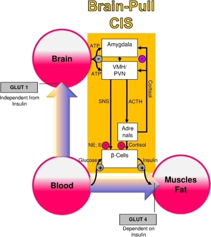 A conceptual diagram that shows key physiological mechanisms, which fulfill the brain-pull function of cerebral insulin suppression (CIS). The flux of glucose is either directed to the brain or to muscle and fat. If neuronal ATP concentrations fall, activation of neurons in the amygdala, in the ventromedial hypothalamus (VMH), and in the paraventricular nucleus (PVN) occurs, which in turn activates the sympathetic nervous system and the hypothalamus pituitary adrenal system (SNS and HPA). Both the SNS and the HPA system suppress insulin release from pancreatic beta cells, thereby decreasing glucose transporter 4 (GLUT-4) mediated glucose uptake into muscle and fat. In this way the brain limits glucose uptake in peripheral tissues and procures itself with glucose on demand. Finally, the CIS-brain-pull system is hierarchically organized and adaptive. The strength of the central glucocorticoid feedback determines whether the CIS-brain-pull system reacts in a high or low reactive manner. ACTH, Adrenocorticotropic hormone; E, epinephrine; NE, norepinephrine.