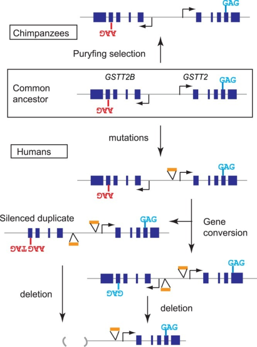 Molecular trajectories for the evolution of GSTT2 duplication.Purifying selection could have maintained the paralogous SNP site in chimpanzee. Under relaxed selection (for human duplication), gene conversion have homogenized duplicates, which resulted in (1) erasing the paralogous SNP and (2) transferring hypomorphic mutations.
