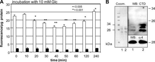 Glucose concentration in culture medium influences proteasome activity and proteasome glycosylation.A, murine fibroblast cells (line C4) were incubated with 10 mm glucose in the culture medium for indicated time points in a 24-well plate. The cells were washed and lysed with 0.1% Nonidet P-40 in 20 mm Tris buffer, pH 7.2. The proteolytic activity within the lysates was monitored by hydrolysis of suc-LLVY-AMC (white bars). In parallel, the proteasome activity was inhibited by 10 μm MG132 (black bars). B, proteasomes were isolated from the C4 mouse fibroblast cell line cultured with 5 mm (lane 1) and 10 mm (lane 2) glucose for 2 h. In the left panel Coomassie staining of the separated proteasomes is shown, and in the right panel the detection of O-GlcNAc modifications by CTD110.6 is shown. Immunodetection of proteasome subunit α4 served as loading control. WB, Western blot.