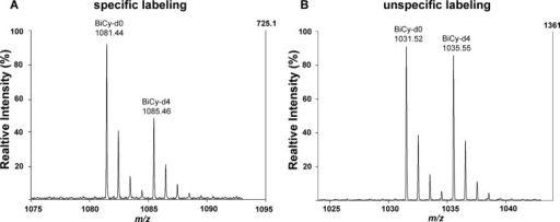 Representative mass spectra of specific and unspecific BiCy-tagged proteasomal peptides.A, the isotope pattern of the peptide 4GBiCySSAGFDR11 (α1, spleen) shows an L/H ratio of ≈1.7, which indicates a specific labeling of the O-GlcNAcylated serine residue. B, a typical spectrum of an unspecific tagged peptide with a BiCy-d0/d4 ratio of 1:1 (29G BiCySTAVGVR36, α4 spleen) is depicted.