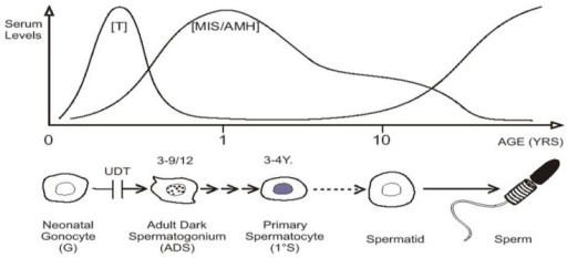 """Mini-puberty,"" with testosterone (T) and MIS/AMH secreted after birth. Neonatal gonocytes mature into adult dark spermatogonia between 3 and 9 months of age, and primary spermatocytes form about 3–4 years. After a period of quiescence, spermatids form about 10 years of age, with the onset on spermatogenesis. Undescended testis (UDT) interferes with the first step."