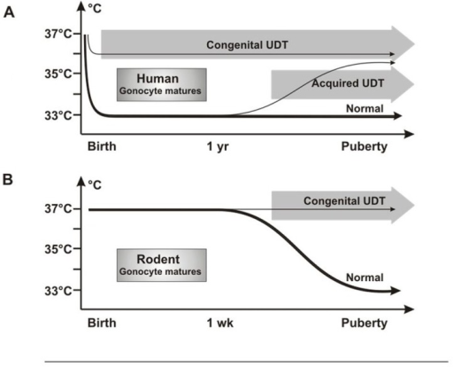 Testicular temperature in humans and rodents. (A) Human gonocytes mature in the first year when the testicular temperature is 33°C. Congenital UDT have abnormal temperature early, which interferes with gonocyte development. By contrast, acquired UDT only interferes with subsequent survival of stem cells. (B) In rodents, gonocytes mature before a change in temperature occurs, so that gonocyte development is unaffected, similar to acquired UDT in humans.