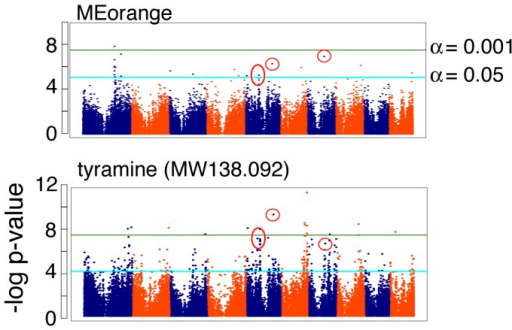 Module eigenvalues do not obscure the importance of single compounds.MEorange was estimated from 81 molecular features, one of which was identified to be tyramine. GWAS on MEorange identified 27 significant SNPs at the FDR-corrected p<0.05 threshold. GWAS on tyramine alone identified 7 SNPs in common (red circles) with MEorange.
