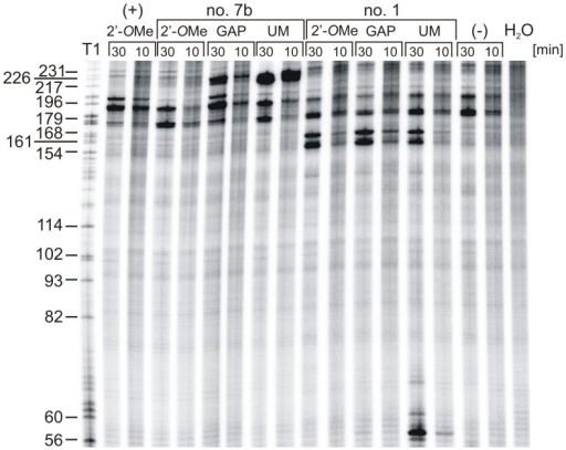 RNase H assay in rabbit reticulocyte lysate in the presence of antisense oligomers no. 1 and 7b targeted to ΔNp53utr RNA.The 5′-end-[32P]-labelled ΔNp53utr-Luc RNA was incubated in RRL and subsequently antisense oligomers no. 1 and no. 7b in their unmodified (UM) and modified (2′-OMe or GAP) form were added to the mixture. After 10 and 30 min incubation at 30°C, RNA was isolated and resolved on 8% polyacrylamide gel in denaturing conditions. The ΔNp53utr-Luc RNA was also subjected to limited hydrolysis by RNase T1 in denaturing conditions to determine the positions of RNase H cleavages. Lanes (−) and H2O indicate control reactions in the absence of antisense nucleotide in RRL and water, respectively. Lane (+) denotes the reaction in the presence of a control antisense oligonucleotide which is complementary to the Firefly luciferase sequence.