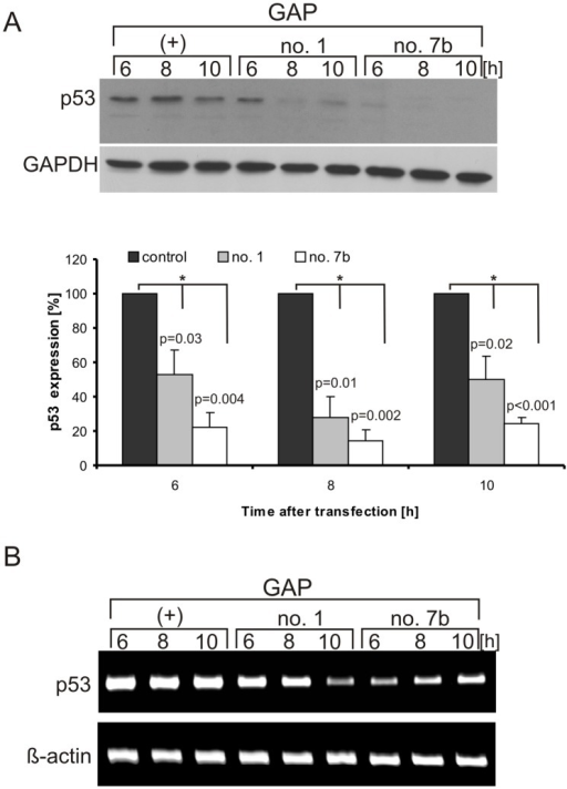 Down-regulation of p53 protein level in MCF-7 cells in the presence of GAP antisense oligomers.(A) Cells were transfected with GAP oligomers: no. 1, no. 7b and control, respectively. Cells were harvested and lysed after specified time points and the level of endogenous p53 was determined by western blot. The bar graph shows average and standard deviations for at least three independent experiments, while normalization was performed as described in the legend to Figure 6. (*) p-values were calculated using Student's t-test (B) The RT-PCR analysis of p53 mRNA and β-actin mRNA (as a control) extracted from the cells after GAP oligomer transfection at specified time points, respectively. The data were obtained from at least two independent experiments.