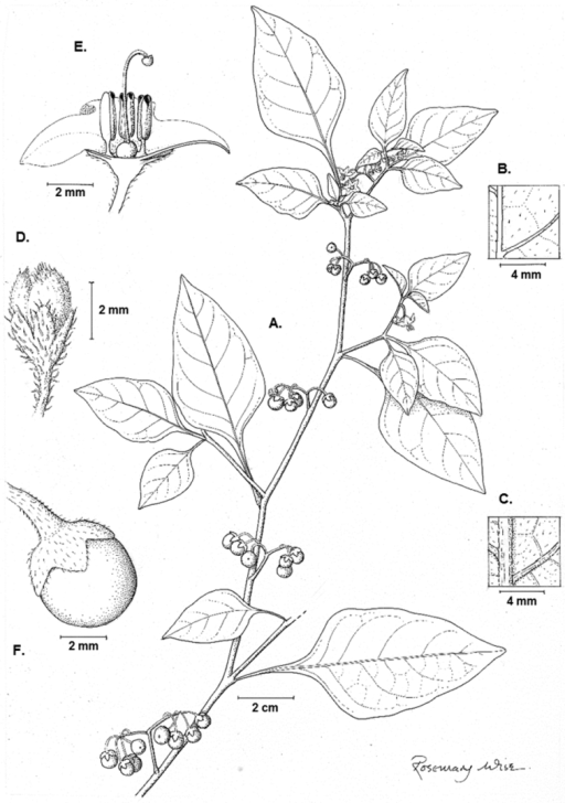 Illustration of Solanum pseudoamericanum. A Habit B Adaxial leaf surface C Abaxial leaf surface D Bud E Half flower F Fruit (A–FKnapp 10351). Illustration by Rosemary Wise.