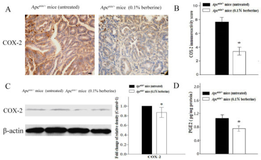 Berberine down-regulates COX-2 expression and PGE2 production. (A-B) Tumors of the distal small intestine from untreated and 0.1% berberine-treated groups were immunostained using COX-2 antibody. Immunoreactivity scoring using a modified semiquantitative scoring system was shown (400×). Scale bars, 50 μm. (C) Protein lysates were prepared from tumors and analyzed by Western blot analysis. Anti-β-actin antibody was used as a protein loading control. The protein band ratio was calculated by comparing the relative density of the protein band on Western blots for COX-2 to that of internal control band from the same mouse. The average ratio in control was set as 100%, the fold change of the ratio in treated mice was shown. (D) PGE2 levels of normal mucosa from untreated and 0.1% berberine-treated groups were detected by ELISA. Columns, means from at least six mice in each group for immunohistochemistry and Western blot analysis, and ten mice in each group for ELISA assay; bars, standard deviation. *, P < 0.01, 0.1% berberine-treated vs untreated Apcmin/+ mice.
