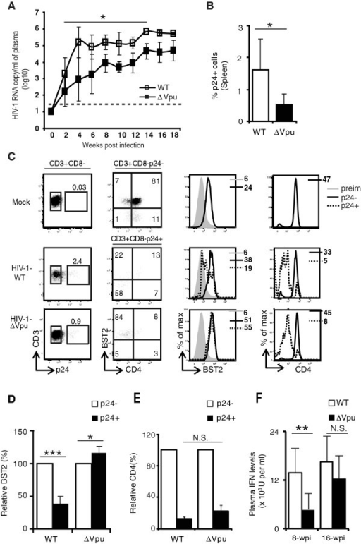 Impact of Vpu-sufficiency and -deficiency on the dynamic of HIV-1 infection in hu-mice infected with low dose of virus. (A) Kinetics of plasma viral load was measured by determining RNA copy numbers/ml (log10 values) in plasma at different time following infection of hu-mice with low dose of HIV-1-WT or HIV-1-∆Vpu (n = 4 up to 10-wpi and n = 2 after 10-wpi for HIV-1-WT, and n = 4 for HIV-1-∆Vpu at all time points); the horizontal broken line indicates the detection limit of the viral load assay (40 copies/ml). Viral load for mock-infected animals was less than log10 value of 2. (B and C) T cells in spleen of low dose infected hu-mice were stained at 8 to 10-wpi with a combination of antibodies to identify infected and uninfected CD4+ T cells. (B) Comparison of average frequency of p24+ T cells in spleen of hu-mice infected with HIV-1-WT and HIV-1-∆Vpu (data pooled from 2 independent experiments; n ≥ 5). (C) To determine the impact of Vpu on surface BST2 levels, infected (p24+CD3+CD8-) or uninfected (p24-CD3+CD8-) T cells were gated (first column) and BST2 and CD4 expression was analyzed by two-color dot plots (CD4 versus BST2 (second column) as well as by single color histograms (third and fourth columns). Numbers in the first column represent frequency of p24+ T cells, and numbers in the upper and bottom left quadrants of dot plots represent BST2+CD4- and BST2-CD4- frequency in p24+ T cells. (D) Comparison of relative levels of BST2 on uninfected (p24-) and infected (p24+) T cells from spleen of hu-mice infected with the indicated HIV-1 virus (MFI on p24- T cells = 100%; n ≥ 5;). (E) Bar graph for relative CD4 down regulation on p24+ T cells from hu-mice infected with the indicated HIV-1 virus relative to p24- cells (MFI on p24- T cells = 100%). (F) IFN levels were determined at 8-wpi and 16-wpi in plasma of hu-mice infected with WT or ∆Vpu HIV-1 (for 8-wpi n = 4 for both groups and for 16-wpi n = 2 for WT and n = 4 for ∆Vpu). Error bars represent SD; *, p ≤ 0.05; **, p = 0.002; ***, p ≤ 0.0005. N.S.: not significant.