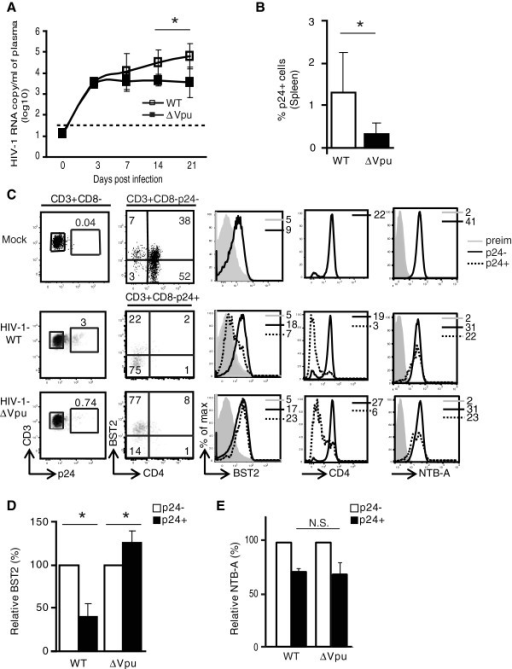 Infection of hu-mice with supra physiological dose of HIV-1-∆Vpu does not overcome BST2 restriction on early viral propagation. Hu-mice were infected with an inoculum containing 100-fold more (compared to low dose) infectious HIV-1-WT or HIV-1-∆Vpu and bled at 3, 7, 14 and 21-dpi. (A) shows RNA copy number/ml of plasma (log10 values) at indicated time points in hu-mice infected with HIV-1-WT or HIV-1 ∆Vpu virus (n = 5). The horizontal broken line depicts the detection limit of the viral load assay as in the Figure 1. (B) Frequency of p24+ T cells at 21-dpi in spleen of hu-mice infected with HIV-1-WT or HIV-1-∆Vpu (n ≥ 4). (C) Impact of Vpu on BST2, CD4 and NTB-A levels on p24- and p24+ T cells from individual hu-mouse infected with the indicated HIV-1 virus. (D) Comparison of relative BST2 levels on p24+ and p24- T cells from spleen of hu-mice inoculated with the indicated HIV-1 virus at 21 dpi (MFI on p24- T cells = 100%; n ≥ 4). (E) Bar graph for relative NTB-A down regulation on p24+ T cells compared to p24- T cells from hu-mice infected with the indicated HIV-1 virus at 21dpi. Error bars represent SD; *, p ≤ 0.05; N.S.: not significant.