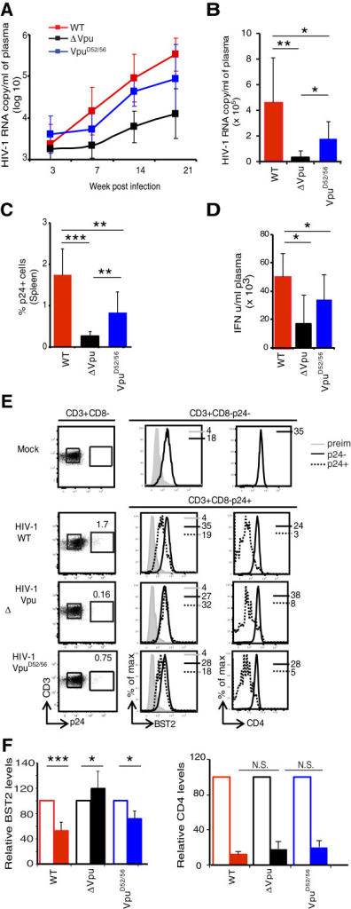 Effect of Vpu mutated in the β-TrCP-binding domain on the dynamics of HIV infection in hu-mice. Hu-mice were infected with high dose of HIV-1-WT, HIV-1-∆Vpu, or HIV-1-VpuD52/56 and plasma viral load was determined at different time points. (A) shows kinetics of RNA copy number per ml of plasma (log10) and (B) shows absolute values at 21-dpi in plasma of hu-mice infected with the indicated HIV-1. Please note that x-axis crosses at log10 value of 3.0. (C) shows comparison of the frequency of p24+ T cells in spleen of hu-mice infected with the indicated HIV-1 (n ≥ 7) at 21-dpi. (D) shows type I IFN levels at 21-dpi in plasma of hu-mice infected with the indicated HIV-1. (E) shows impact of Vpu mutations on BST2 and CD4 levels on p24+ and p24- T cells from individual hu-mouse infected with the indicated strain of HIV-1. (F) shows comparison of relative BST2 and CD4 levels on p24+ (closed bar) and p24- (open bar) T cells from spleen of hu-mice infected with the indicated strain of HIV-1 at 21-dpi (n ≥ 4). BST2 and CD4 MFIs on p24-negative uninfected cells were treated as 100%. Error bars represent SD; *, p ≤ 0.05; **, p ≤ 0.005, ***, p ≤ 0.0005, N.S.: non significant.