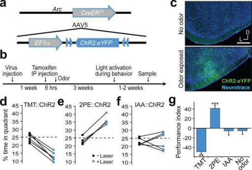 Activation of odor responsive neurons within cortical amygdala is sufficient to recapitulate behavioral responsesa, The genetic strategy used to express ChR2 in odor responsive neurons. The tamoxifen sensitive Cre recombinase, CreERT2, was expressed under the control of the promoter of the activity-dependent gene, arc, in a transgenic mouse. The gene encoding Cre-dependent ChR2-eYFP was introduced into the cortical amygdala by infection with AAV5. b, The timeline for experimental manipulations. The animal was sampled upon termination of behavioral testing. c, Representative images showing the expression of ChR2-eYFP in mice that received tamoxifen injection followed by exposure to either the odorant isoamyl acetate (bottom) or no odor as a control (top). Scale bar indicates 300 μm. d-f, Mice with odor-driven channelrhodopsin expression were tested in the open field assay where they received pulsed photoactivation upon entrance into one quadrant. The percent time each animal spent in the lower right quadrant in the absence and presence of pulsed photoactivation in mice with neurons activated by TMT (d), 2-phenylethanol (e) and isoamyl acetate (f). g, The average performance index for mice receiving photostimulation of neurons activated by TMT, 2-phenylethanol, isoamyl acetate, or no odor, respectively from left to right (n=3-6). **P < 0.01, ***P < 0.001 t-test comparing PI with and without laser; error bars indicate SEM.