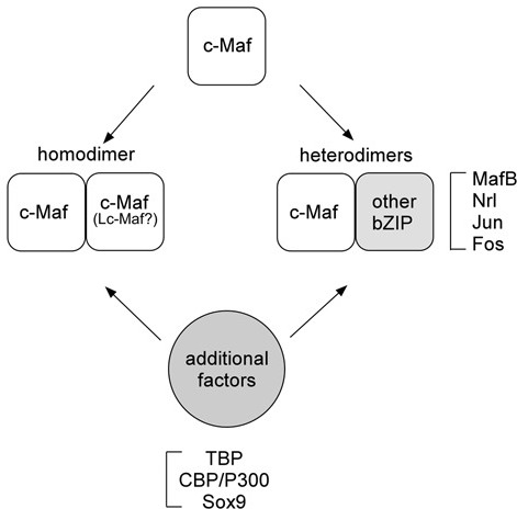Different types of c-Maf binding interactions. c-Maf can form homodimers as well as heterodimers with other bZIP transcription factors. In addition, several factors, including general transcription factors (TBP), cofactors (CBP), and specific transcription factors (Sox9), interact with c-Maf.