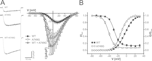 Biophysical properties of A749G expressed in tsA-201 cells. (A) Calcium current voltage relationships for human wild-type and A749G and A749G mutants coexpressed together with wild-type (WT + A749G, equal amounts of complementary DNA transfected for both constructs) in tsA-201 cells as described in Methods and Materials. Sample traces of inward calcium currents measured during depolarizations to maximum voltage are also shown. Current-voltage curves include only data for wild-type channels pooled from parallel recordings with mutants in the same transfections (six independent transfections) to account for differences in expression levels between transfections. A749G cotransfected with wild-type (WT + A749G) resulted in significantly increased peak current amplitudes (for statistics and numbers, see Results). Statistics for gating parameters are summarized in Table 1. (B) Steady-state activation (circles) and inactivation (squares) curves for wild-type and A749G were obtained as described in Methods and Materials. Means ± SEM are illustrated. Wild-type, n = 29 (nine transfections); A749G, n = 27 (six transfections). Steady-state activation parameters for WT + A749G are given in Table 1.