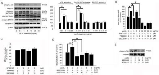 p38 MAPK- and SAPK/JNK-related pathways contribute to increased tube formation in EPCs under low concentrated oxLDL.(A) Following treatment of EPCs with 0–50 μg/mL of oxLDL for 4 hours, the phosphorylation of p38 MAPK, SAPK/JNK and ERK1/2 were analyzed by Western blot. The total p38 MAPK, SAPK/JNK, ERK1/2, and β-actin protein levels were used as loading controls. The graph showed the quantitative activation of p38 MAPK (phospho-p38MAPK/total- p38MAPK ratio), SAPK/JNK (phospho-SAPK/JNK/total-SAPK/JNK ratio), and Akt (phospho-ERK1/2/total-ERK1/2 ratio) density in oxLDL-treated EPCs. (B) EPCs were pretreated with SP600125, PD98059, or SB203580 for 1 hour prior to treatment with 5 or 50 μg/mL oxLDL for 24 hours. (C) Treatment of SP600125, PD98059, or SB203580 alone for 24 hours. In vitro angiogenesis was assayed using ECMatrix gel. (D) EPCs were pretreated with SP600125 or SB203580 for 1 hour prior to treatment with 5 μg/mL oxLDL for 24 hours. The NO-containing conditional medium was analyzed using electron spin resonance spectroscopy. Data are expressed as the mean ± SEM of three experiments performed in triplicate. *p < 0.05 was considered significant. (E) EPCs were pretreated with SP600125 or SB203580 for 1 hour prior to treatment with 5 μg/mL oxLDL for 2 hours, subsequently Akt activation (phosphorylation) was analyzed by Western blot. Total Akt protein levels were used as loading controls.