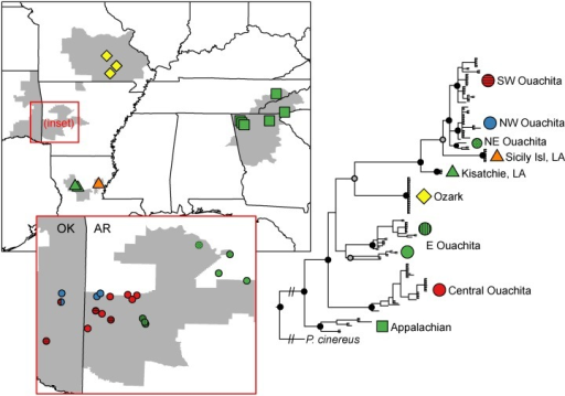 Maximum-likelihood phylogeny of mitochondrial cytb.Nodal support: grey dots: Bayesian PP > 0.9; black dots: ML bootstrap > 0.75 and Bayesian PP > 0.9. Shapes on the phylogeny correspond to map. Inset: Ouachita region.