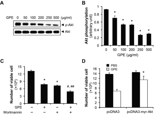 GPE induces the 5637 cell death by suppressing Akt phosphorylation. (A) 5637 cells were treated with indicated concentrations of GPE for 48 h, the phosphorylation of Akt at Ser 473 was analyzed by immunoblotting. (B) Quantification of Akt phopshorylation that was normalized to the expression of total Akt. *P < 0.05, compared with no GPE treatment. (C) 5637 cells were seeded in 24-well cell culture plates at the density of 2 × 104 cells/well. Next day, cells were treated with 500 μg/ml GPE, with the pretreatment of Wortmannin (100 nM) for 2 h, where necessary. After 48 h incubation, cells were trypsinized and the number of viable cells was counted. *P < 0.05, compared with no treatment. #P < 0.05, compared with GPE treatment. ##P < 0.05, compared with Wortmannin treatment. (D) 5637 cells transfected with pcDNA3 or pcDNA3-myr-Akt, were incubated with 500 μg/ml GPE for 48 h, and viable cells were counted. *P < 0.05, compared with pcDNA3 treated with GPE.
