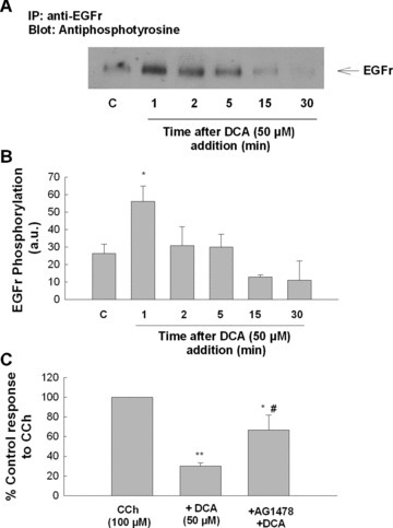 EGFr activation mediates the antisecretory effect of DCA in colonic epithelial cells. (A) Cells were treated with DCA (50 μM; bilateral) for the times indicated after which EGFr phosphorylation was measured by immunoprecipitation and Western blotting. (B) Densitometric analysis of several similar experiments (n= 3). (C) Cells were pretreated with tyrphostin AG1478 (100 nM) for 30 min prior to DCA (50 μM). After a further 24 hrs incubation, cells were mounted in Ussing chambers and Isc responses to CCh (100 μM) were measured. Responses to CCh in DCA‐treated cells were expressed as percentage of vehicle or AG1478‐treated controls, as appropriate. Single asterisk '*' denotes significant differences from cells stimulated with CCh alone (n= 5; *P < 0.05; **P < 0.01). Symbol '#' denotes significant difference from cells pretreated with DCA.
