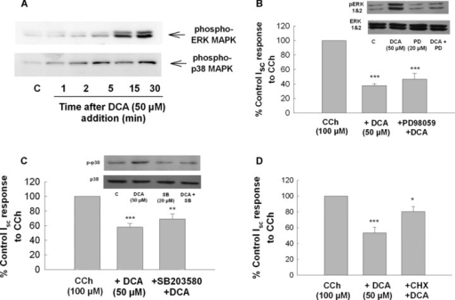 Inhibition of protein synthesis but not ERK or p38 MAPK blocks the antisecretory effect of DCA in colonic epithelial cells. (A) Cells were treated bilaterally with DCA (50 μM) for the times indicated after which cell lysates were analysed by Western blotting with anti‐phospho‐ERK or anti‐phospho‐p38 antibodies. Each blot is representative of three similar experiments. (B–D) Cells were pretreated with either (B) PD98059 (20 μM), (C) SB203580 (10 μM) or (D) cycloheximide (100 ng/ml) for 30 min prior to DCA (50 μM). After a further 24 hrs incubation, cells were mounted in Ussing chambers and Isc responses to CCh (100 μM) were measured. The insets to Fig. 7B and D show that PD98059 and SB203580 inhibited DCA‐stimulated ERK and p38 phosphorylation, respectively (these blots are representative of three similar experiments). Responses to CCh in DCA‐treated cells were expressed as percentage of vehicle or inhibitor‐treated controls, as appropriate (n= 5; *P < 0.05; **P < 0.01; ***P < 0.001 compared to cells stimulated with CCh alone).