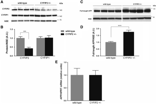 Reduced CYFIP2 expression does not affect CYFIP1 expression, but leads to increased APP expression at protein but not mRNA level in the hippocampus. (A) Representative western blots. (B) Quantification showed that CYFIP2 expression is reduced by ∼50% in hippocampal synaptosomes of Cyfip2+/− mice (black bar; n = 7) in comparison to wild-type littermates (grey bar, n = 8). CYFIP1 levels are not significantly changed in the same lysates. For quantification CYFIP1 and CYFIP2 expression were normalized to levels of NSE, a neuronal marker. (C) Representative western blots. (D) Quantification showed that APP protein expression is significantly increased ∼2-fold in hippocampal synaptosomes of Cyfip2+/− mice (black bar) in comparison to wild-type littermates (grey bar; n = 8 per genotype). (E) Quantitative PCR analysis showed that App mRNA levels are not elevated in hippocampi of Cyfip2+/− mice (black bar) in comparison to wild-type littermates (grey bar) when normalized to the housekeeping gene Hprt (n = 8 per genotype). Means ± SEM are shown. ***P < 0.001.
