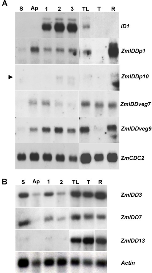 Northern blot showing expression of 7 maize IDD genes compared to ID1. Gene-specific probes are indicated on the right side. Tissues used include: S, stem below the apical region, Ap, apical region of plant, including 2 cm above apical meristem and leaf primordia. Sections 1, 2 and 3 are immature leaf sections from 2–4 cm, 4–6 cm and 6–8 cm above the apex, respectively. TL, immature flag leaf surrounding tassel primordium; T, pre-anthesis tassel; R, roots. The same B73 plant with 7 visible leaves was used for sections S, Ap, 1, 2 and 3. (A) Gene-specific probes derived from cDNAs of ZmIDDp1, ZmIDDp10, ZmIDDveg7 and ZmIDDveg9. The ZmCDC2 probe, which is detected in tissues with actively dividing cells, was used as a control [38]. An arrowhead indicates the position of the ZmIDDp10 band. (B) Blot hybridized with specific probes to ZmIDD3, ZmIDD7, ZmIDD13 and an actin-specific probe.