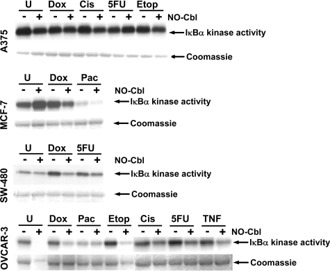 IκB kinase (IKK) activity. IKK activity was assessed using recombinant GST-IκBα(1-54) and γ32P-ATP as substrates.The phosphorylated GST fusion protein was detected by autoradiography. IKK activity was determined in cells that were pre-treated with NO-Cbl (300 µM, 16 h) followed by doxorubicin (20 µM, 4 h) or cisplatin (20 µM, 1 h) or 5 flurouracil (5-FU, 100 µM, 5 h) or etoposide (20 µM, 4 h) or paclitaxel (20 µΜ, 5 h). Anti-β-actin antibody was used as an irrelevant antibody control for immunoprecipitation and yielded no signal. After exposure to film, the gel was stained with Coomassie blue to visualize total protein and demonstrated equal loading of the GST-IκBα(1-54) substrate. The same cell extracts were probed for total IKK by immunoblot analysis and demonstrated equal loading of IKK.