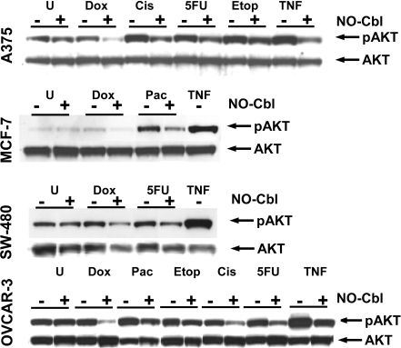 Western blot analysis of phospho-AKT.Cells were pre-treated with NO-Cbl (300 µM, 16 h) followed by doxorubicin (20 µM, 4 h) or cisplatin (20 µM, 1 h) or 5 flurouracil (5-FU, 100 µM, 5 h) or etoposide (20 µM, 4 h) or paclitaxel (20 µΜ, 5 h). Whole cell lysates were probed with anti-phospho-AKT and then re-probed with anti-AKT (unphosphorylated) which served as a loading control.