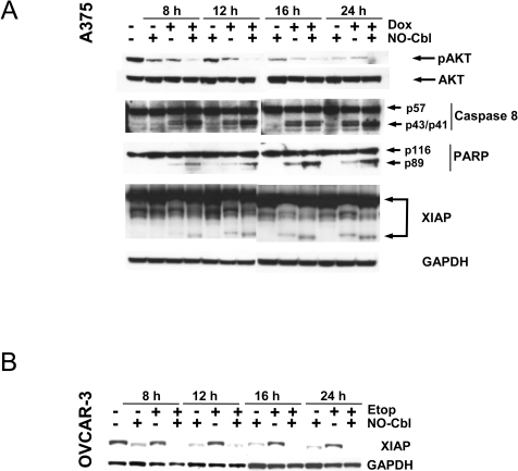 Western blot analysis of mediators of apoptosis.A, Time course analysis of A375 cells pre-treated with NO-Cbl (300 µM, 16 h) followed by doxorubicin (20 µM, 4 h). Phospho-AKT, XIAP, caspase-8 and PARP immunoblots were performed on whole cell lysates. Note that caspase-8 and PARP cleavage were maximal with combination treatment at all time points. Degradation of XIAP was increased following combination treatment at all time points. B, OVCAR-3 cells were pre-treated with NO-Cbl (300 µM, 16 h) followed by etoposide (20 µM, 4 h). XIAP protein levels were determined. GAPDH was used as a loading control.