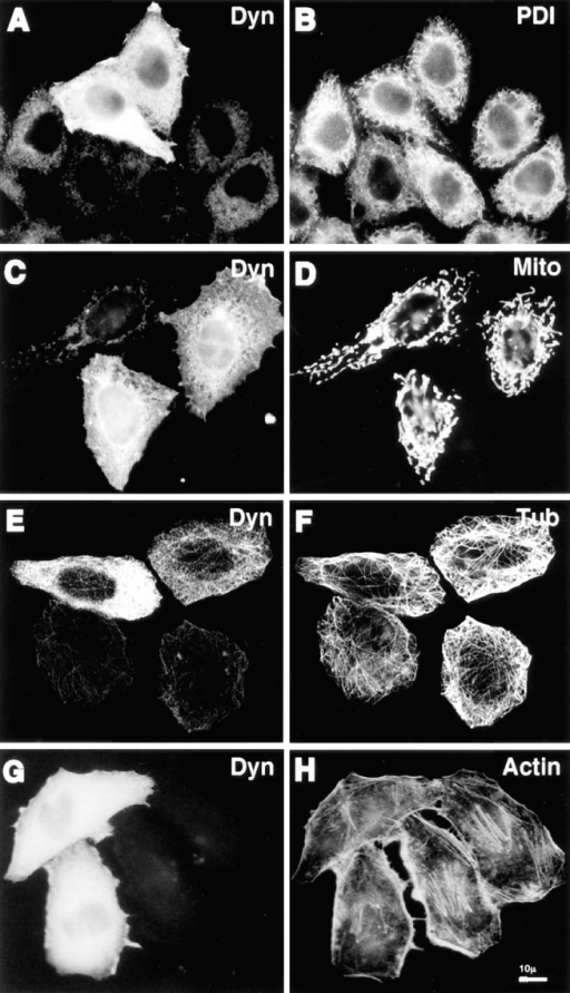 Cytoskeletal structures and certain organelles are not  grossly affected by dynamitin overexpression in HeLa cells.  HeLa cells transiently transfected with dynamitin were labeled  with anti-dynamitin antibody (A, C, E, and G), and were double  labeled with organelle markers. (B) Protein disulfide isomerase  labeling the ER. (D) Antimitochondria antibody. (F) Anti–tubulin–labeling microtubules. (H) Bodipy phallicidin labeling filamentous actin. E and F show projections of confocal images to  better show the microtubule arrays. The apparent microtubule  staining pattern in E is an artifact resulting from the much stronger microtubule fluorescence.