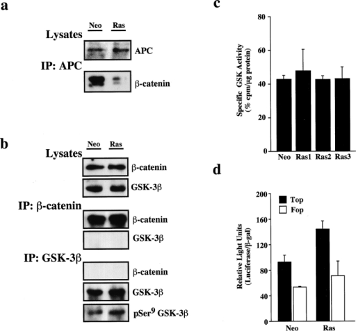 Stable expression of V12Ras in Pam212 keratinocytes inhibits β-catenin–APC interaction, but does not induce stable interaction of β-catenin with GSK3β or affect GSK3β activity. (a) Soluble extracts from PamNeo (Neo) and PamV12Ras (Ras) cells were immunoprecipitated with anti-APC antibodies and subjected to immunoblotting for β-catenin (bottom, IP: APC). As a control of the APC level, the extracts were immunoblotted with anti-APC antibodies (top, lysates). (b) Soluble extracts from PamNeo (Neo) and PamV12Ras (Ras) cells were immunoprecipitated with anti–β-catenin (mouse mAb) (middle, IP: β-catenin) or anti-GSK3β (bottom, IP: GSK3β) and subjected to immunoblotting for β-catenin, GSK3β, and P-Ser9GSK3β, as indicated. As a control, total cell extracts from Neo and Ras cells (top, lysates) were also included in the immunoblottings. (c) GSK3β activity was assayed in crude cell extracts of control PamNeo (Neo) and PamV12Ras cells from three independent infections (Ras1, Ras2, and Ras3) in the presence and absence of 50 mM lithium chloride using the specific peptide GSM as substrate. The specific activity is represented as the percentage of the difference between the values obtained in the absence and presence of lithium chloride in each cell line. Samples were analyzed in duplicate, and the results show the average value and SD. (d) Lef-1/Tcf–dependent transcriptional activity was measured in control PamNeo (Neo) and PamV12Ras (Ras) cells using pTOPFLASH (Top) and pFOPFLASH (Fop) reporter vectors containing multimerized wild-type (Top) or mutated (Fop) Lef-1/Tcf binding sites. Assays were performed in duplicate samples, and the results show the average value and SD.