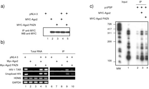 HIV-1 mRNAs associate with Argonaute 2. 293 cells were transfected with HIV-1 molecular clone pNL4-3, Myc-Ago2 or Myc-AgoPAZ9 as indicated. 48 hours later cells were harvested and cytoplasmic extracts were prepared. Total RNA was purified from a fraction of harvested cells while the rest was subjected to immunoprecipitation using anti-Myc antibody. After washing, a fraction was used to analyze the amount of Myc-Ago2 and Myc-Ago2PAZ9 immunoprecipitated by Western blotting (a), and the rest of the Myc-IPs was used for RNA extraction. HIV-1 mRNAs (TAR and unspliced), Hdm2 and GAPDH mRNA were quantified from total RNA (b, left panel) or from Myc immunoprecipitated mRNPs (b, right panel) by RT-PCR using specific oligonucleotides. c) Experiment was performed as in fig 3 except that 293 cells were transfected with HIV-1 ΔPSP which contains a partial gag/pol deletion but retains all the mRNA splicing sites [66], and 32P-labelled nucleotides were used in the PCR reaction. PCR products were visualized by autoradiography.