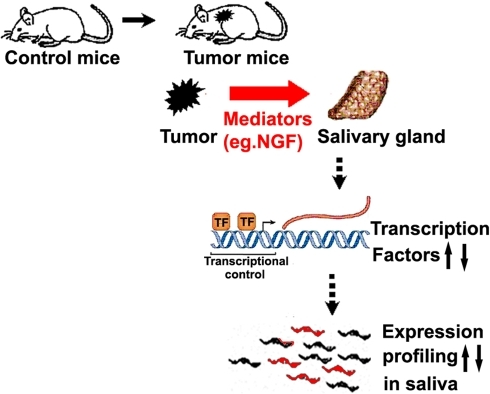 The working model: The relationship between the salivary transcriptome and the remote tumor.Mediators such as NGF secreted by remote tumors are transferred to salivary gland through blood to stimulate TFs expression and alter salivary mRNA profile.