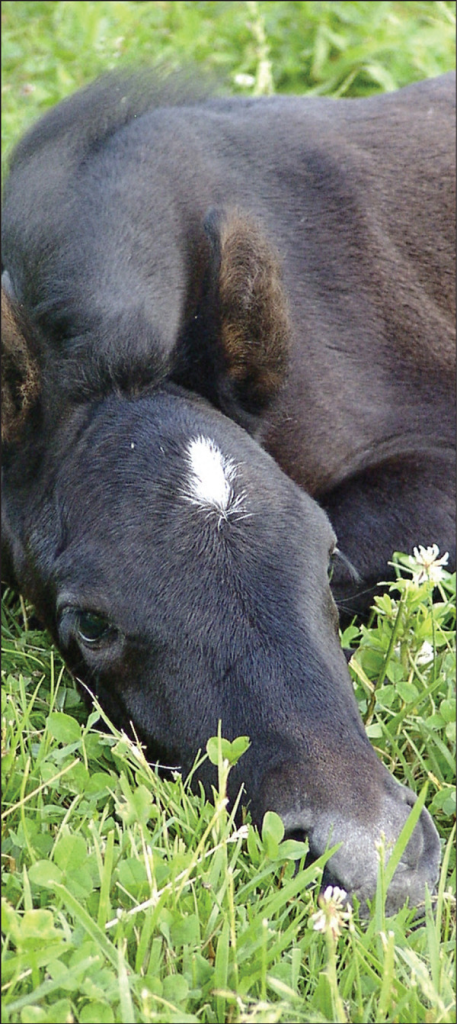 Rhodococcus equi organisms most often induce chronic bronchopneumonia in young foals.