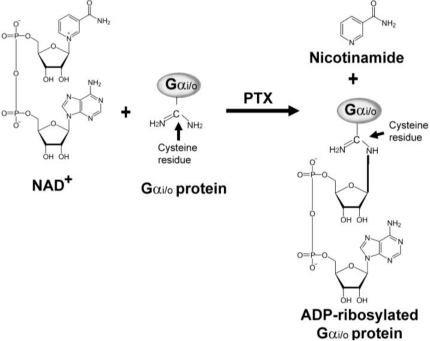 Schematic diagram of the ADP-ribosylation of α subunit